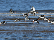 A parcel of oystercatchers