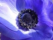 SINGLE FLOWER, ANEMONE