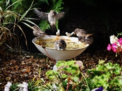 Bath time for the sparrows!