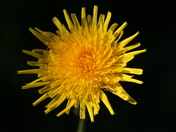 Single Flower: Dandelion