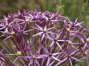 Single Flower : Allium