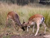 fallow bucks practise the rut