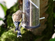 Baby goldfinches in my garden just now