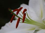 Single Flower: Lily
