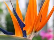 Single Flower:Bird of Paradise