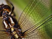 Keeled Skimmer Dragonfly - Female