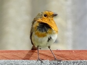 Windy robin