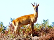 Roydons roe deer