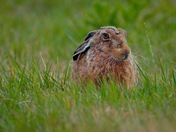 Horace the Hare