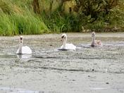 Swans at Hoveton Hall