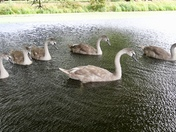 Swans at Hoveton Hall