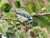 Bluetit pulling the buds off my cherry tree