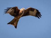 Red Kites, Buckenham
