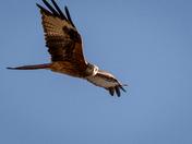 Red Kites, Buckenham 2