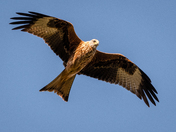 Red Kites, Buckenham 2
