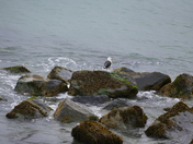 BLACK BACKED GULL ON THE ROCKS AT HIGH TIDE