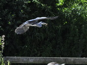Heron In flight Horning Ferry