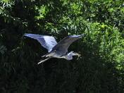Heron In flight Horning Ferry