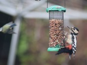Lunch time for the Great Spotted Woodpecker of Upminster!