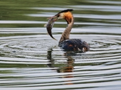 Grebe with sizeable Perch for lunch at Lackford Lakes