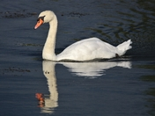 Swan in the sun, reflected at Lackford Lakes
