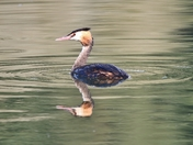 Grebe reflected at Lackford Lakes