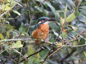 Kingfisher in a bush at Lackford Lakes iwitters meet