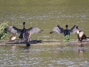 Cormorants drying their wings in the sun at Lackford Lakes