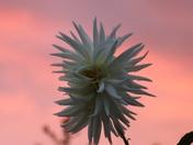Sunset Dahlia