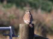 Kestrel on gate post Oulton marshes