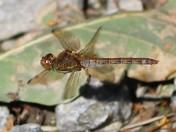 Oulton Marsh Dragonfly
