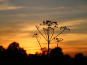 Seed Sunset