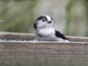 Long-tailed Tit and Chaffinch eating from a table.