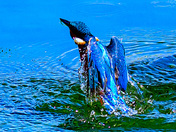 Something blue. Kingfisher at Lackford.