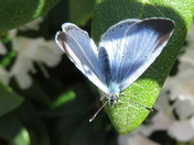 Blue butterfly in our garden