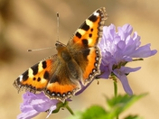 October sunshine brings out late Tortoiseshell butterfly.