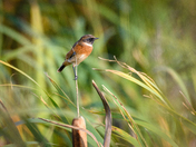 Stonechats at Buckenham marshes