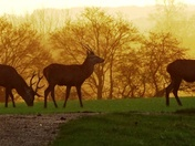 Red Deer stags at sunrise.