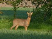 Roe Deer Buck.