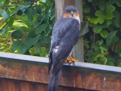 Sparrow hawk fencing the joint in me back garden