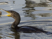 A Cormorant with lunch
