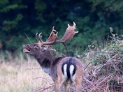 bellowing bucks