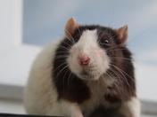 Curious Ratty