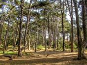 Perspective - pine trees