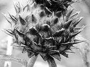 Artichoke Thistle