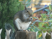 Cyril the squirrel at lunch
