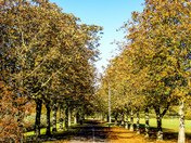 Autumal Chestnut trees in perspective