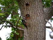 Greater spotted woodpecker feeding young