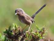 Dadtford warbler