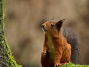 Red Squirrel,